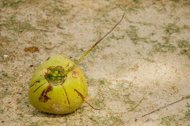 A fruta do coco caiu na areia.
