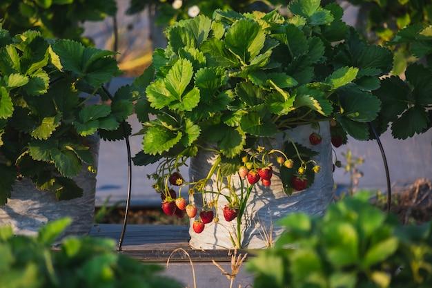 A fruta morango e planta no jardim