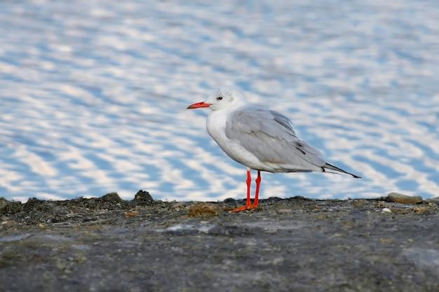 A gaivota-de-bico-fino (chroicocephalus genei) fica na margem do lago nas águas azul-esbranquiçadas