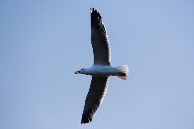 A gaivota siberiana voando. nadym. yamal.