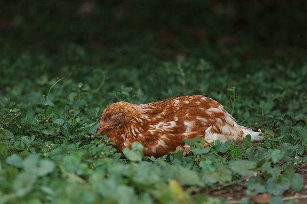 A galinha vermelha de rhode island é dormir e descansar no jardim na tailândia