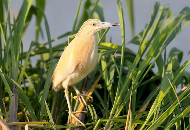A garça-real ardeola ralloides em plumagem reprodutiva com incrível luz matinal