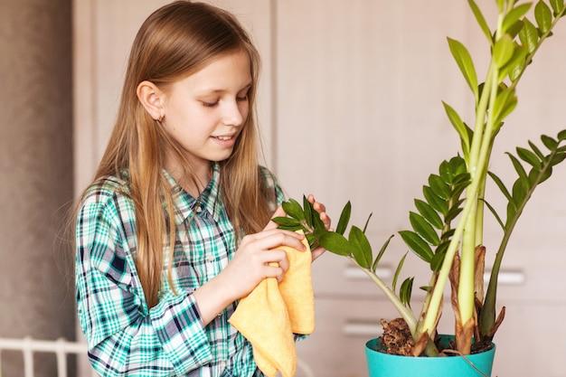 A garota limpa a poeira das folhas verdes da planta de casa. cuidar de plantas de interior.
