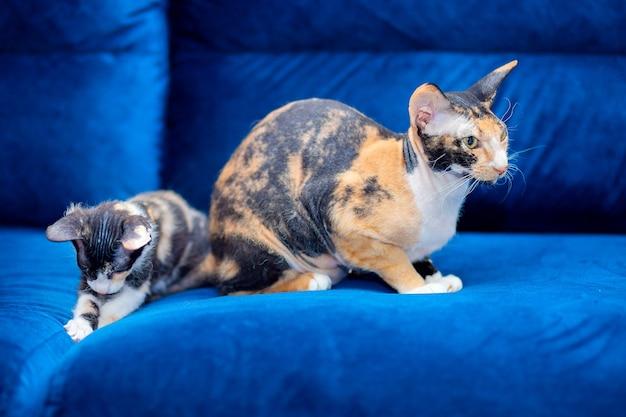 A gatinha tricolor está brincando com a mamãe gata se gabando. gatos domésticos brincam no sofá