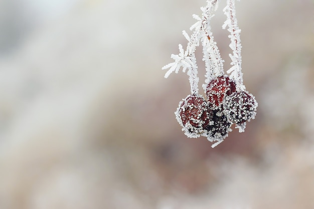 A geada cobriu frutos vermelhos na floresta de inverno.