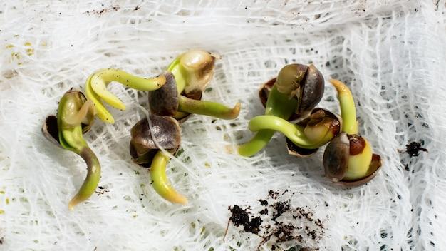 A germinação de sementes de cannabis, brotam pequenos grãos de raízes de maconha.