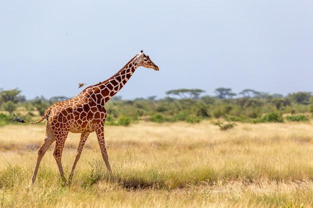 A girafa da somália passa por um prado verdejante