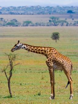 A girafa está comendo savana de acácia.