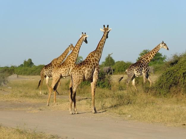 A girafa no safari no parque nacional de chobe, botswana, áfrica