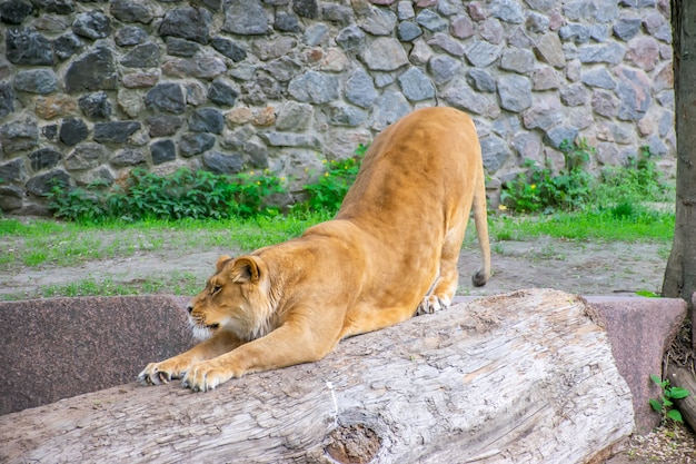 A graciosa leoa mora em um zoológico pitoresco.