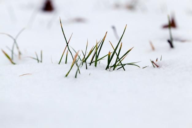 A grama brota da neve no inverno