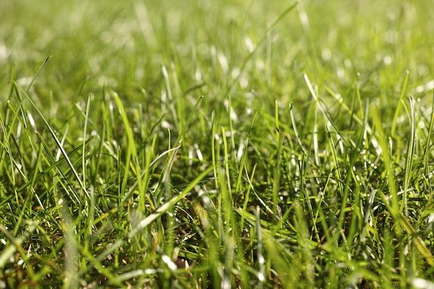 A grama fresca