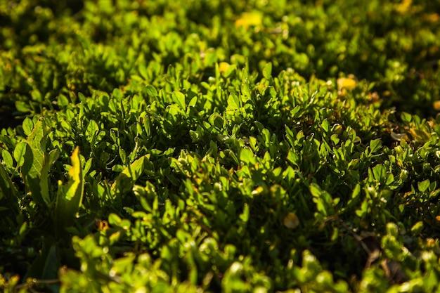 A grama jovem cresce em campo aberto no jardim