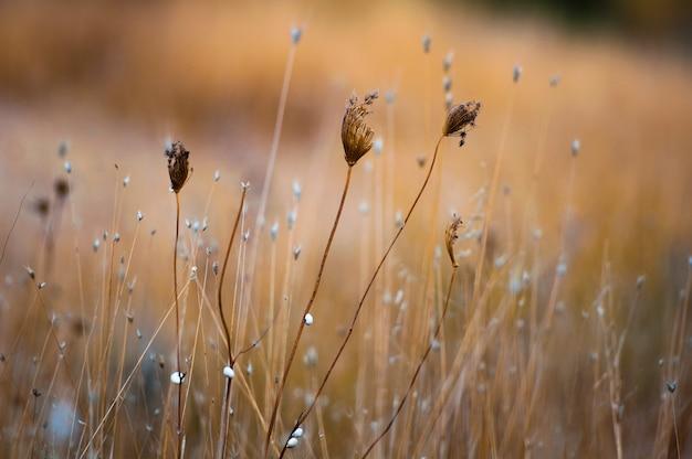A grama seca cresce no campo.
