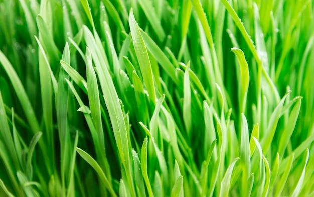 A grama verde coberta com gotas de água na superfície