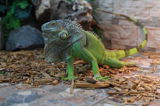 A grande iguana verde aperta os olhos com uma longa cauda