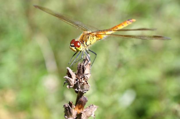 A grande libélula sentou-se na flor seca contra a madeira