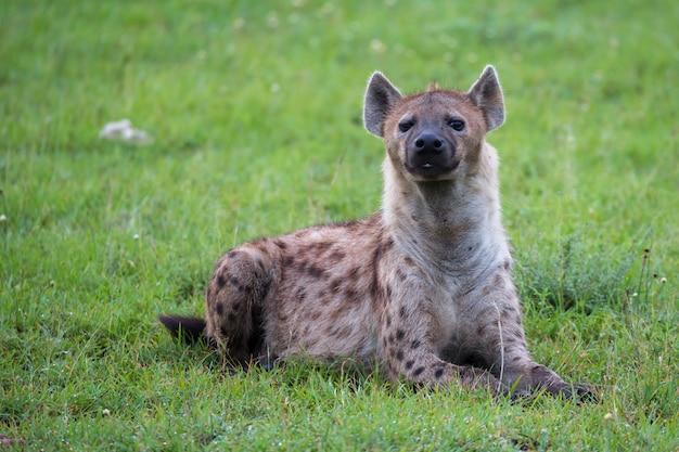 A hiena está deitada na grama na savana do quênia