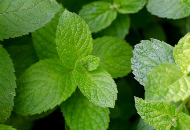 A hortelã-pimenta verde fresca cresce no jardim. folhas de hortelã sob gotas de orvalho.