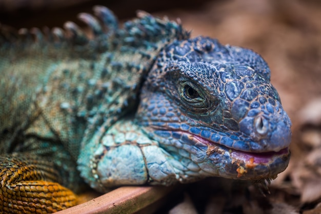 A iguana azul