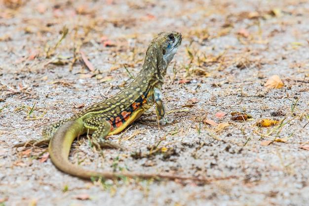A iguana da ásia no gramado.