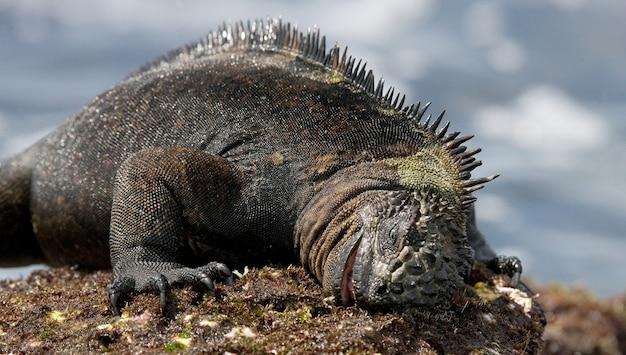 A iguana marinha está comendo algas marinhas