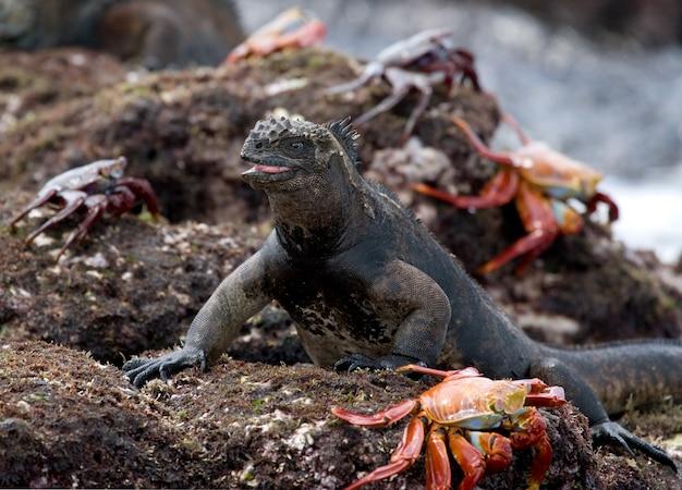 A iguana-marinha está sentada em uma rocha cercada por caranguejos vermelhos