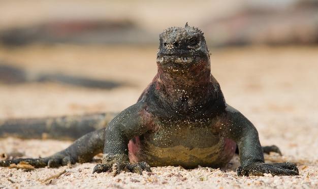 A iguana-marinha está sentada na areia branca