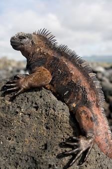 A iguana marinha está sentada nas rochas