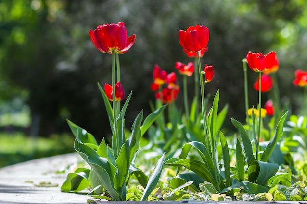 A imagem bonita do close-up da mola vermelha brilhante maravilhosa floresce tulipas nas hastes altas que florescem prodigamente no fundo verde borrado do bokeh no jardim ou no campo. beleza e proteção do conceito de natureza.