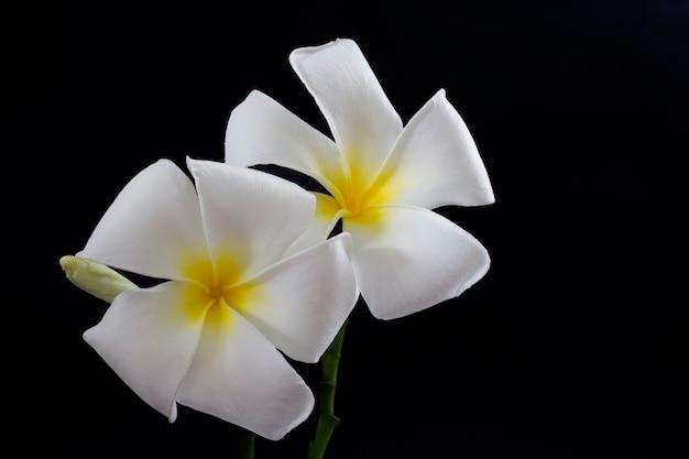 A imagem de flores brancas de plumeria em um fundo escuro