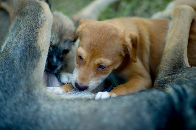 A imagem de um filhote de cachorro que come o leite materno da fome conceito do amante do cão com espaço da cópia