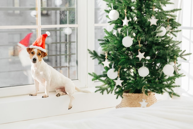 A imagem do cão pequeno no chapéu de papai noel levanta no peitoril da janela perto da árvore decorada.