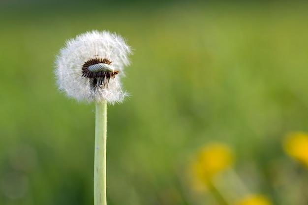 A imagem do close-up de sobre floresceu o dente-de-leão macio com as sementes brancas claras na natureza verde borrada com as flores amarelas no dia ensolarado brilhante. beleza do conceito de natureza.
