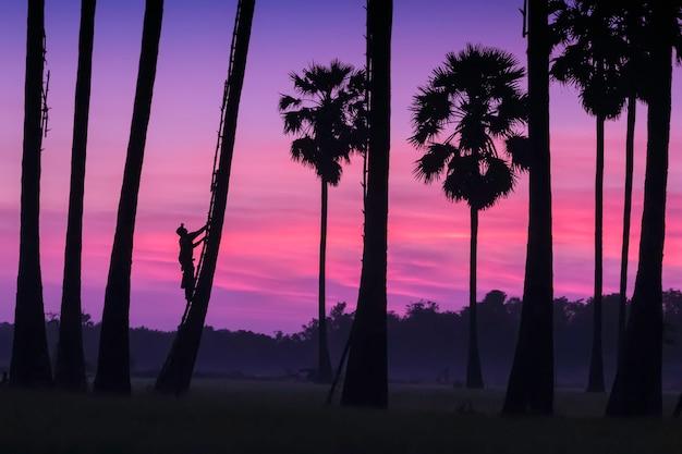A imagem é silhueta. os homens estão escalando o açúcar da palma na manhã e o céu colorido.