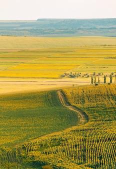 A incrível paisagem vertical de girassóis pousa em um dia de verão durante o pôr do sol.