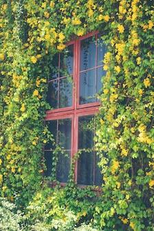 A janela da casa coberta de videiras