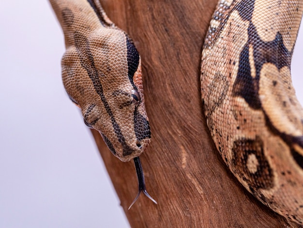 A jibóia (boa constrictor), também chamada de boa de cauda vermelha ou jibóia comum, é uma espécie de cobra grande, não venenosa e de corpo pesado que é freqüentemente mantida e criada em cativeiro.