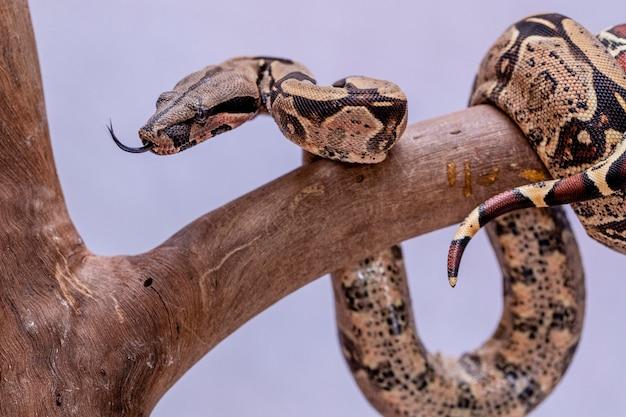 A jibóia (jibóia), também chamada de jibóia de cauda vermelha ou jibóia comum, é uma espécie de cobra grande, não venenosa e de corpo pesado, que é frequentemente mantida e criada em cativeiro.