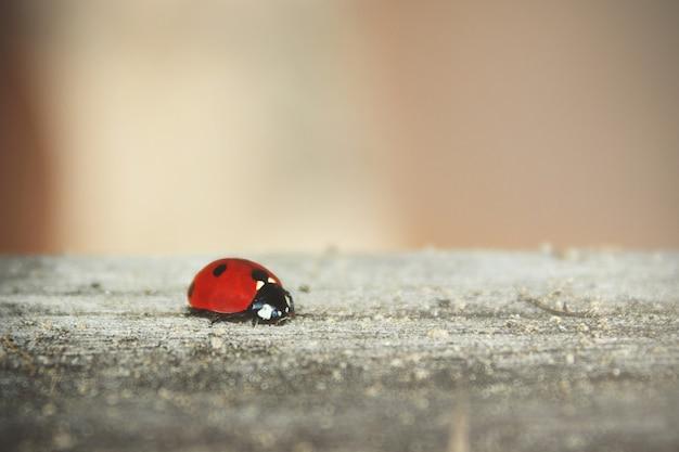 A joaninha caminha ao longo de uma velha tábua de madeira, para papel de parede. conceito de foco suave. ladybug macro. borrado.