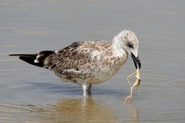A jovem gaivota do cáspio segura a raiz de uma planta aquática em seu bico