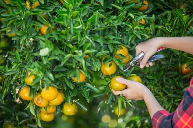 A jovem mulher no jardim colhe a laranja no jardim.