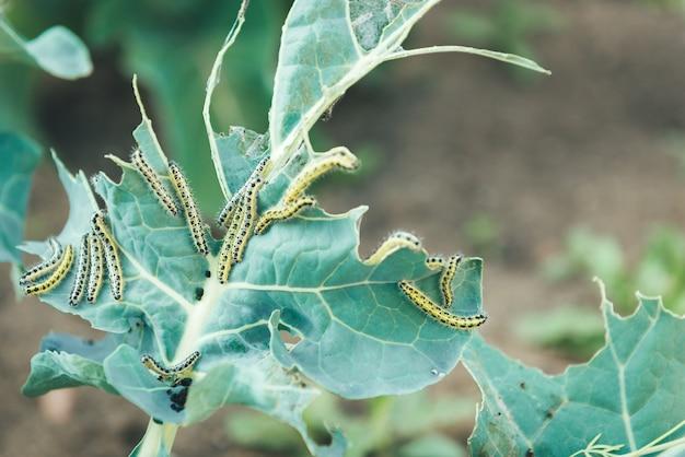 A lagarta da borboleta branca comendo as folhas de um repolho
