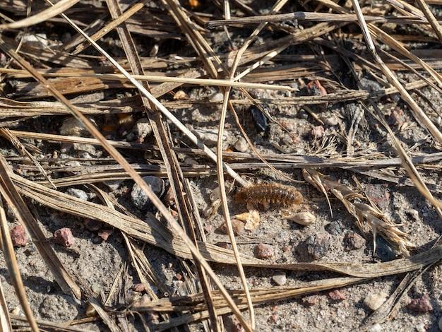 A lagarta da borboleta urso rasteja no solo pedregoso