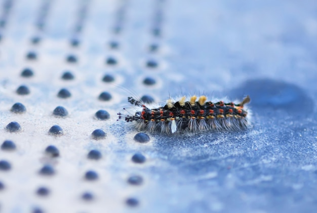 A lagarta orgyia antiqua, mariposa ou vapourer enferrujada