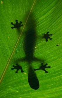 A lagartixa-de-cauda-folha está pousada sobre uma grande folha verde. madagáscar.
