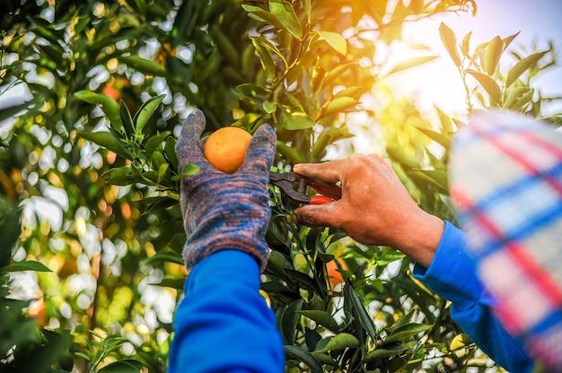 A laranja e as mãos do jardineiro laranja são feitas todos os dias em seu pomar de laranjas.