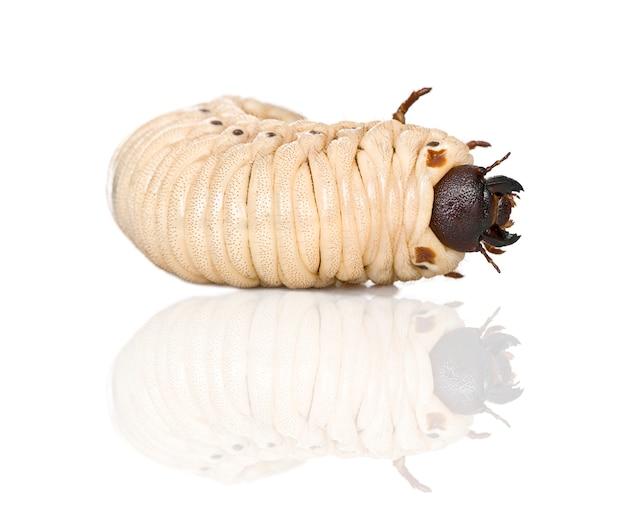 A larva de um besouro de hércules - dynastes hercules - é o mais famoso e o maior dos besouros de rinoceronte.