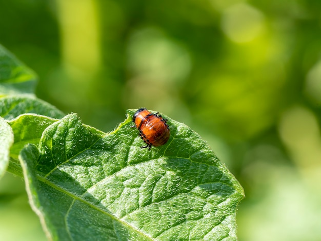 A larva do besouro da batata do colorado em uma folha de batata verde no verão em um dia ensolarado. pragas de insetos