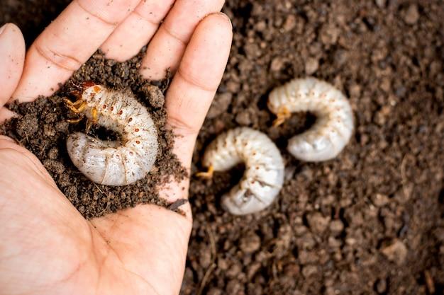 A larva dos besouros nas mãos dos homens.